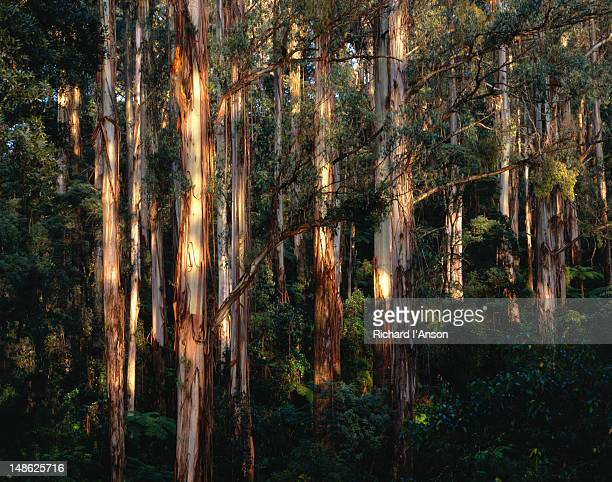native eucalypts and ferns in the dandenong ranges national park - dandenong stock photos and pictures
