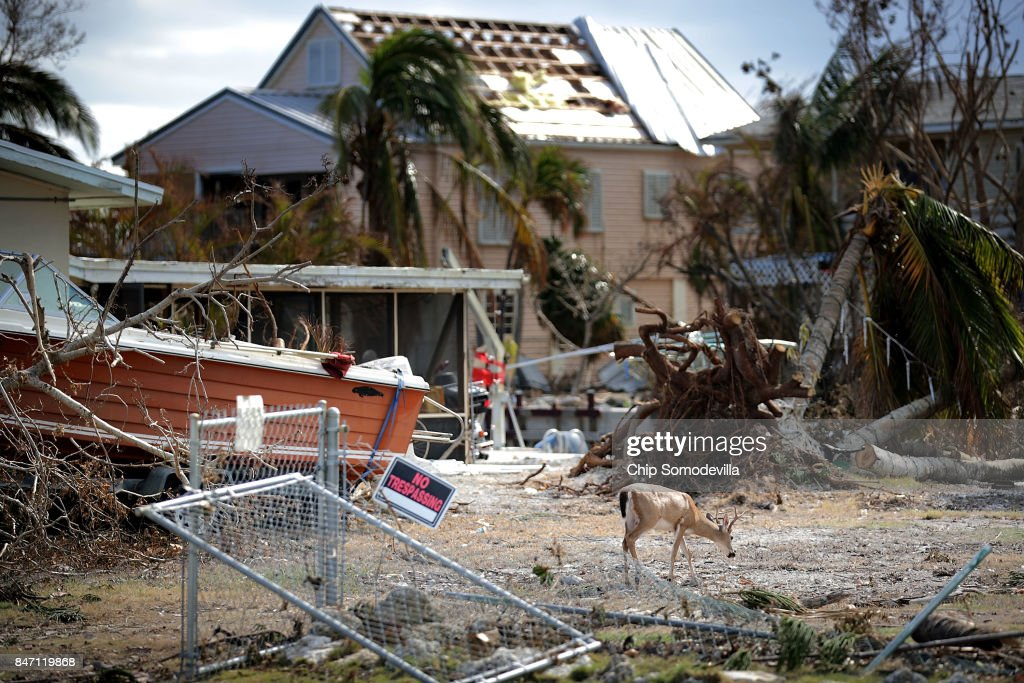 A native key deer looks for food among the ruins left by Hurricane Irma in the Port Pine Heights neighborhood September 14, 2017 on Big Pine Key, Florida. Many places in the Keys still lack water, electricity or mobile phone service and residents are still not permitted to go further south than Islamorada. The Federal Emergency Managment Agency has reported that 25-percent of all homes in the Florida Keys were destroyed and 65-percent sustained major damage when they took a direct hit from Hurricane Irma.