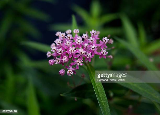Native milkweed plant called the swamp milkweed, in Heather McCargo's backyard in the West End. She, and her non-profit the Wild Seed Project, are...