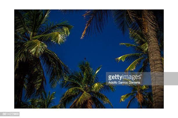 native palm trees of porto de galinhas. - porto galinhas stock photos and pictures