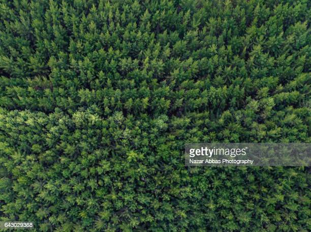 Native Pine Forest.