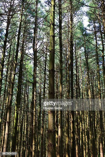 native pine trees extend to the sky - eastern white pine stock pictures, royalty-free photos & images