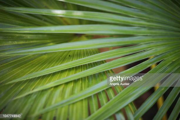native plants of sanibel in southwest florida - palmetto florida stock pictures, royalty-free photos & images