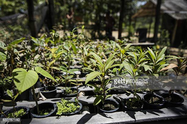 Native plants of the Atlantic Forest that will be used for reforestation by Guaran Indians On January 26 2017 Guarani Indians of Trs Palmeiras...