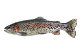 Native Rainbow Trout on White