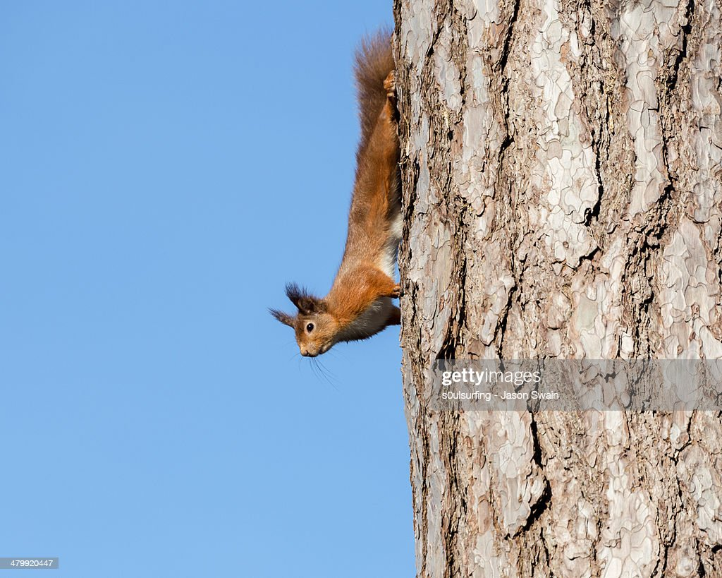 Native red squirrel : Stock Photo