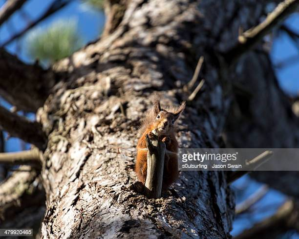 native red squirrel - s0ulsurfing stock pictures, royalty-free photos & images