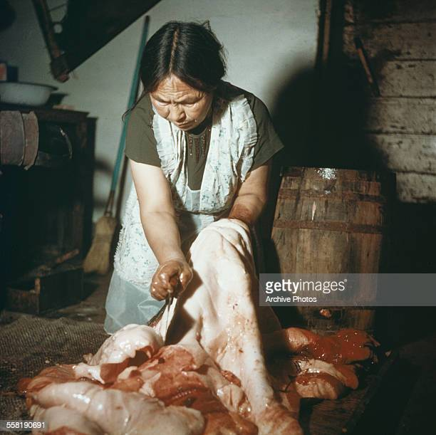 A native woman skinning a seal in Alaska USA circa 1965