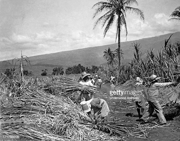 Native workers harvesting sugar cane on one of the plantations Hawaii circa 1937