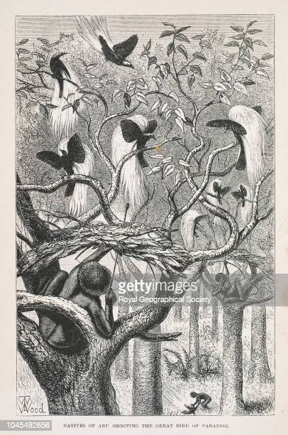 Natives of Aru shooting the Great Bird of Paradise From 'The Malay Archipelago land of the OrangUtan and the Bird of Paradise a narrative of travel...