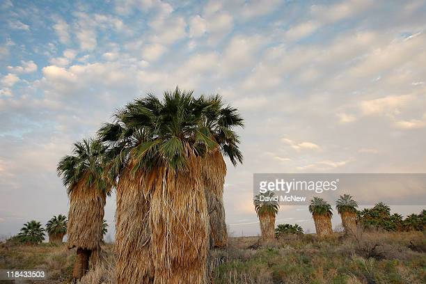 Natives palms are seen at San Andreas Spring, one a several where the southern San Andreas Fault pushes water to the surface, supporting tiny...