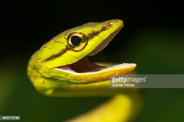 Natter (Oxybelis brevirostris), animal portrait, Amazon rainforest, Canande River Nature Reserve, Choco forest, Ecuador