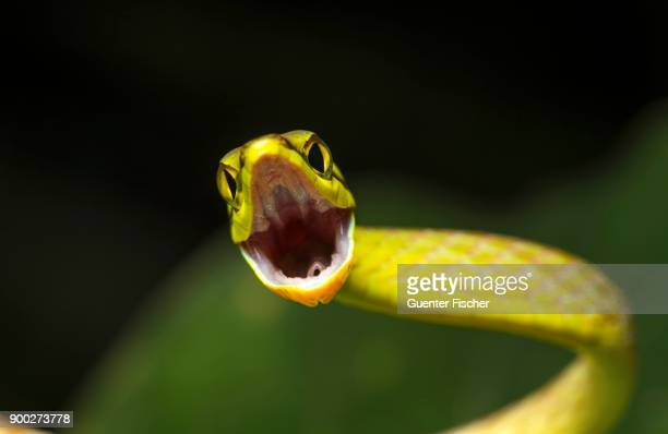 Natter (Oxybelis brevirostris) with open mouth, the Amazon rainforest, Canande River Nature Reserve, Choco forest, Ecuador