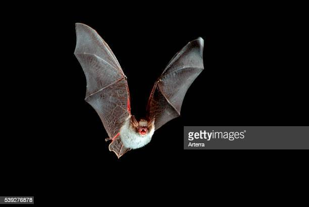 Natterer's bat in flight at night