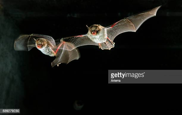 Natterer's bats flying in cave, Europe.