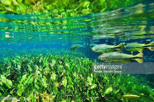 natural aquarium in brazil - mato grosso do sul state stock pictures, royalty-free photos & images