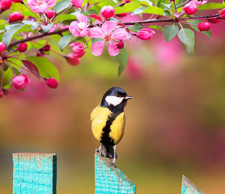 natural background with a beautiful tit bird sitting on a wooden fence in a rustic garden surrounded by apple flowers on a sunny spring day 1143328259