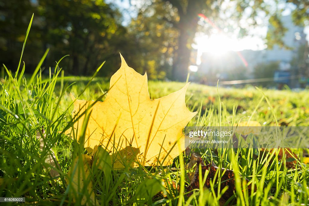 Natural background with green grass and yellow maple leaves. : Stock Photo