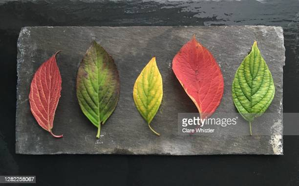 natural fallen autumnal leaves on slate - royal blue stock pictures, royalty-free photos & images