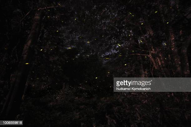 natural firefly fly in dark forest area - fireflies stock pictures, royalty-free photos & images