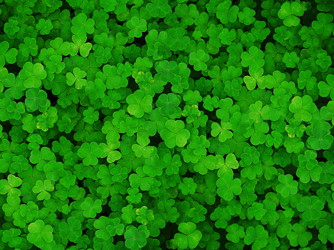Natural green dark background. Plant and herb texture. Leafs green young fresh oxalis, shamrock, trefoil close-up. Beautiful background with green clover leaves for Saint Patrick's day 920503350