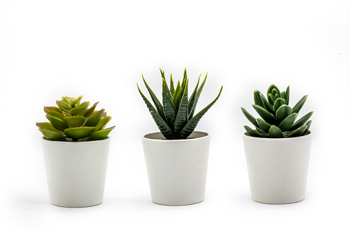 Natural green succulents cactus, Haworthia attenuata in white flowerpot isolated on white background. 1090442826