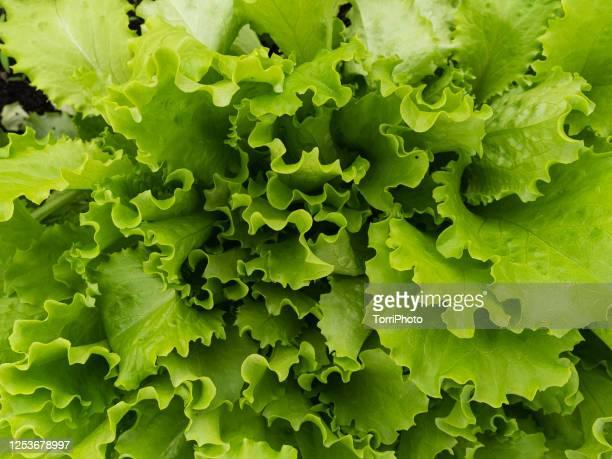 natural green texture of salad plant - salad photos et images de collection
