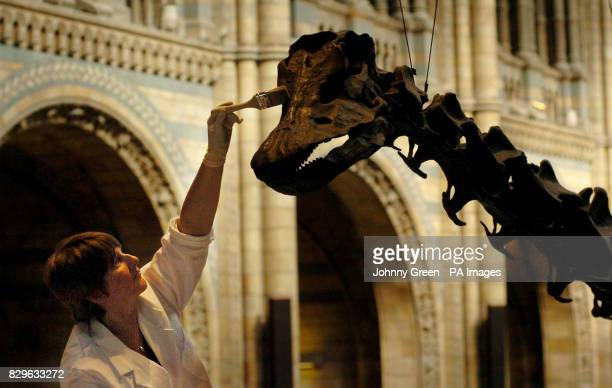 Natural History Museum conservator Lorraine Cornish cleans the 26metrelong skeletal cast of Dippy the Diplodocus for its hundredth birthday inside...