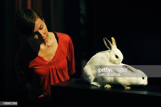 A Natural History Museum employee poses as she looks at a taxidermy exhibit featuring two rabbits having intercourse during the press view of the...
