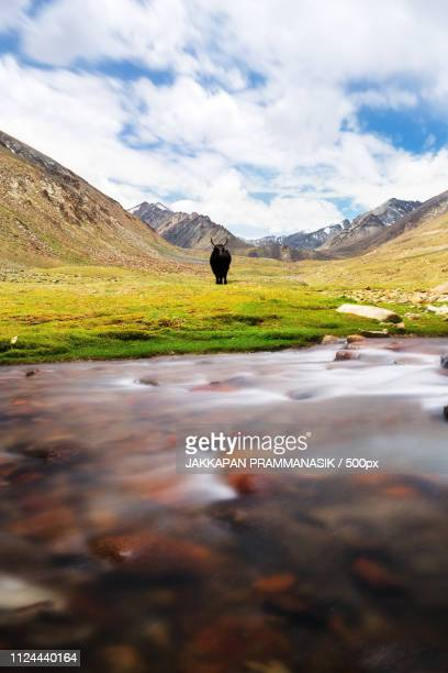 Natural Landscape With Yak