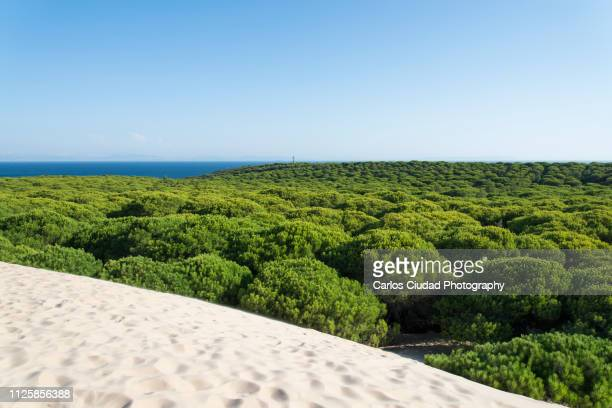 natural monument duna de bolonia, cadiz, spain - pine woodland stock pictures, royalty-free photos & images