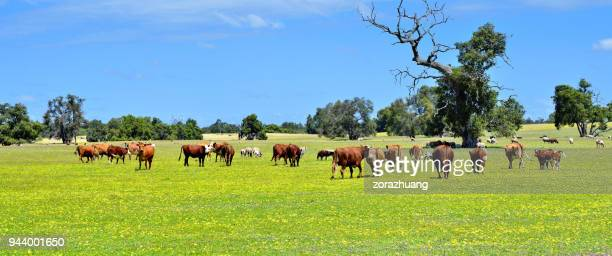 natural pasturage ranch, australia - cattle stock pictures, royalty-free photos & images
