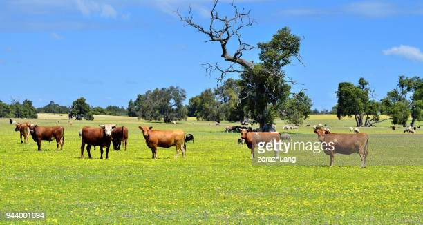 natural pasturage ranch, australia - paddock stock photos and pictures