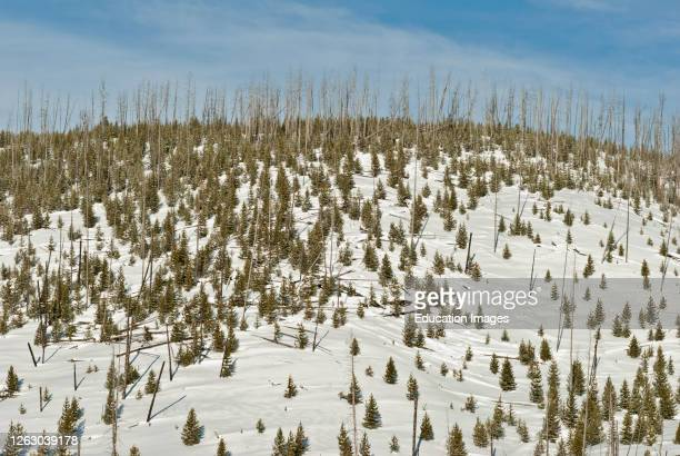 Natural Reseeding by Wildfire in Yellowstone National Park WY