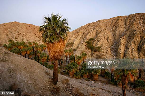 Natural spring-fed desert oasis is one of many supporting thousands of palm trees that line the San Andreas earthquake fault on May 15, 2008...