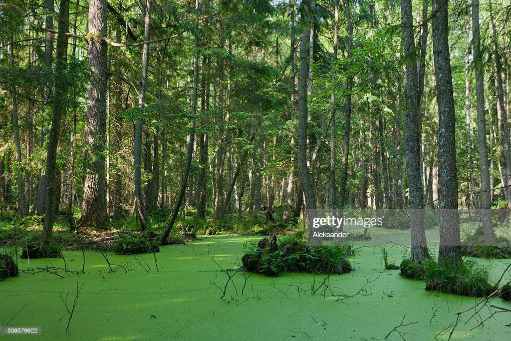 Natürlich stehe von Bialowieza-Waldgebiet mit stehendes Wasser und Wasserlinse : Stock-Foto