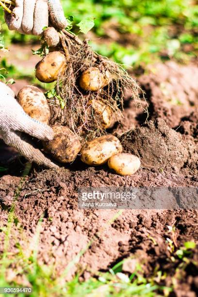 natural vegetable fresh agriculture food. raw green potato in the ground in hands in the garden. organic plant ingredient. ripe harvest in the farm. - blumenzwiebel stock-fotos und bilder