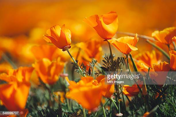 California golden poppy stock photos and pictures getty images a naturalised crop of the vivid orange flowers the california poppy eschscholzia californica mightylinksfo Gallery