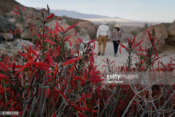 Naturalist/photographer Paul Johnson is framed by a chuparosa bush in Glorietta Canyon in Anza Borrego Desert State Park It doesn't matter if there...
