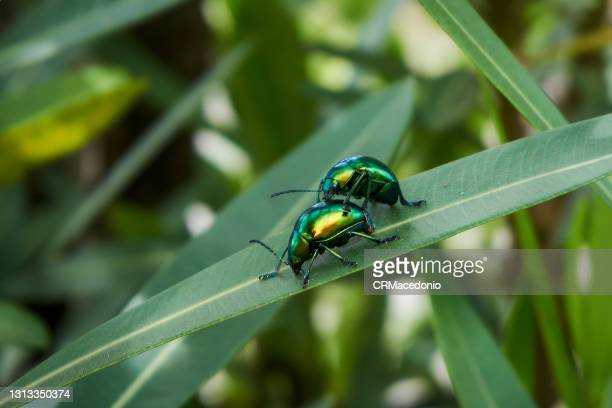 nature and beetles in action on the leaves. - crmacedonio stock pictures, royalty-free photos & images