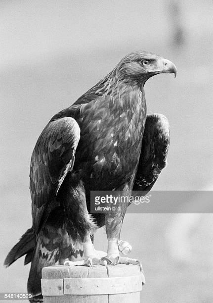 nature animal world eagle Golden Eagle Aquila chrysaetos