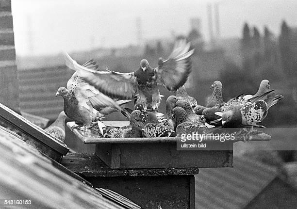 nature animal world pigeons on the roof of a house Columbidae Ruhr area North RhineWestphalia
