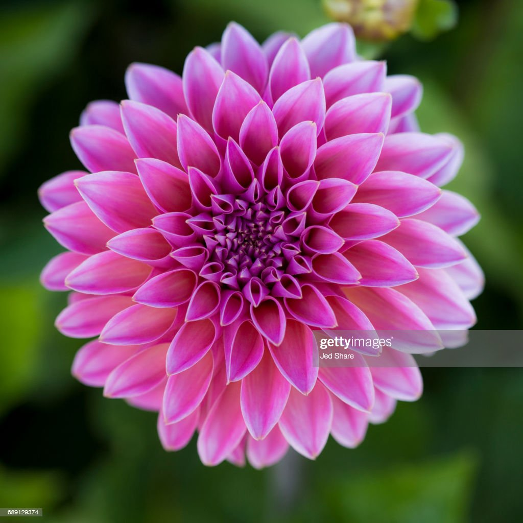 Nature As Designer - Dahlia : Stock Photo