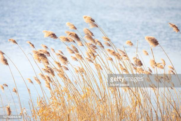 nature background of a reeds in normandy , france - reed grass family stock photos and pictures