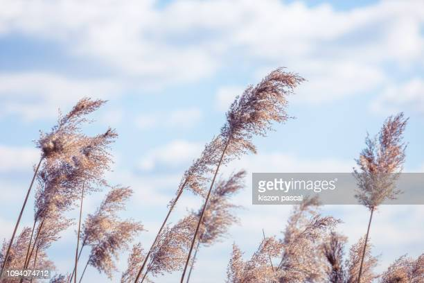 nature background of a reeds with sunlight - reed grass family stock photos and pictures