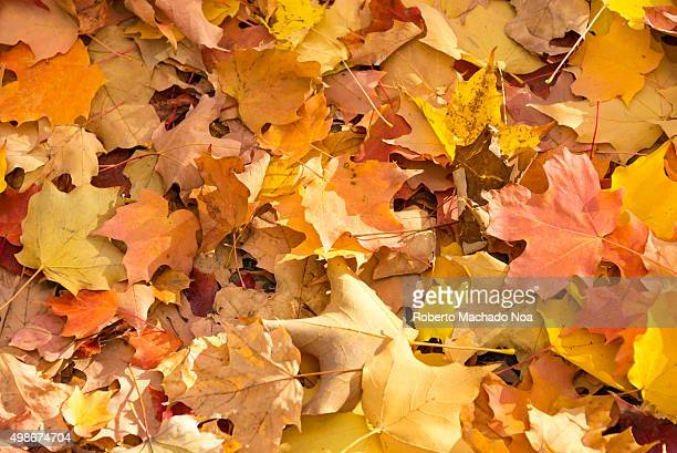 Nature background or wallpaper Colorful maple leaves on the ground full frame shot