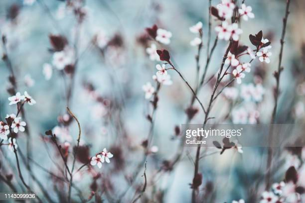 nature background with tiny cherry blossoms - soft focus stock pictures, royalty-free photos & images