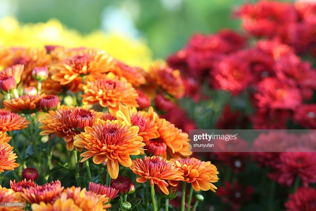 Natur: Chrysantheme : Stock-Foto