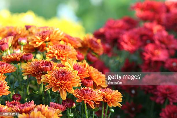 Nature: Chrysanthemum