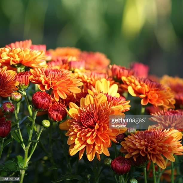 naturaleza: crisantemo - chrysanthemum fotografías e imágenes de stock